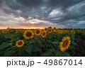 ひまわり 向日葵 農場の写真 49867014