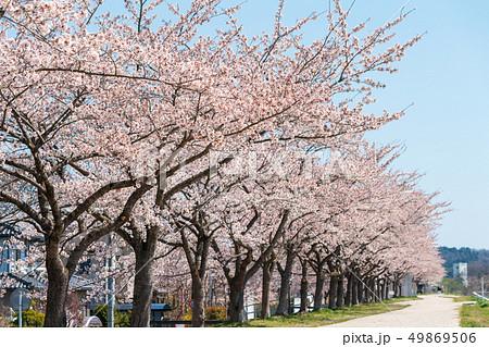 青空と一目千本桜 宮城大河原 49869506
