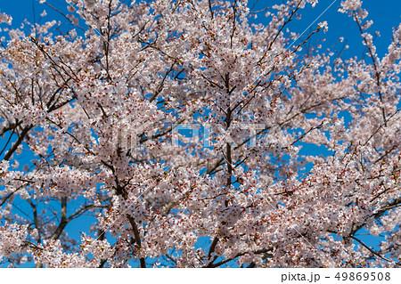 青空と一目千本桜 宮城大河原 49869508