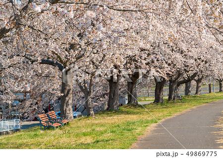 青空と一目千本桜 宮城大河原 49869775