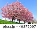 桜 春 花の写真 49872097