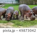 カバ 親子 河馬の写真 49873042