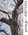 桜 16 49875302