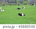 牛・ホルスタイン 49880540