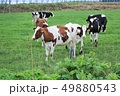 牛・ホルスタイン 49880543