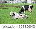 牛・ホルスタイン 49880643