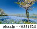 大阪まいしまシーサイドパークのネモフィラ 49881628