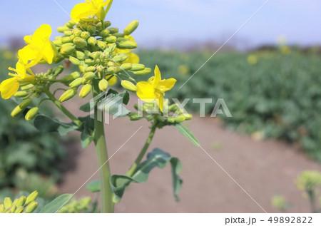 菜の花畑に広がるきれいな菜の花 49892822