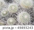 丸いゴゲトゲのサボテン 49893243