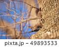 木の幹に現れたエゾリス(北海道) 49893533