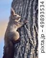 木の幹に現れたエゾリス(北海道) 49893534