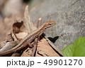 ニホンカナヘビ 49901270