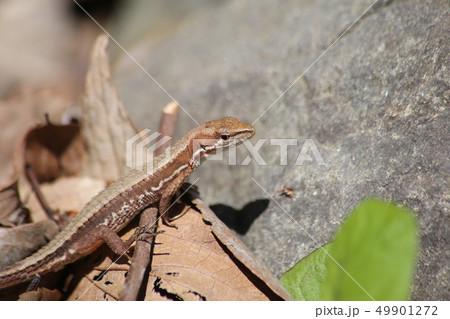 ニホンカナヘビ 49901272