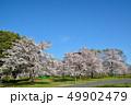 桜 満開 晴れの写真 49902479