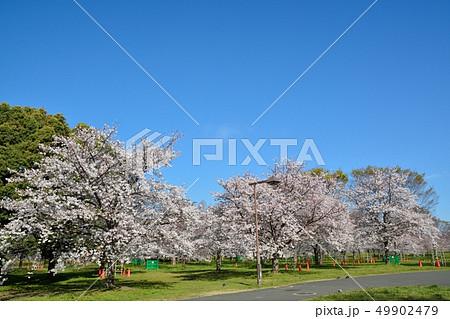 舎人公園の桜の風景 49902479