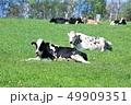牛・ホルスタイン 49909351