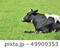 牛・ホルスタイン 49909353