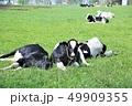 牛・ホルスタイン 49909355