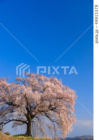 朝日に輝く_わに塚の桜 49915378