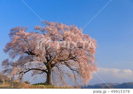 朝日に輝く_わに塚の桜 49915379