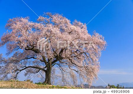 朝日に輝く_わに塚の桜 49916906