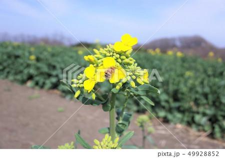 菜の花畑に広がるきれいな菜の花と蜜蜂 49928852