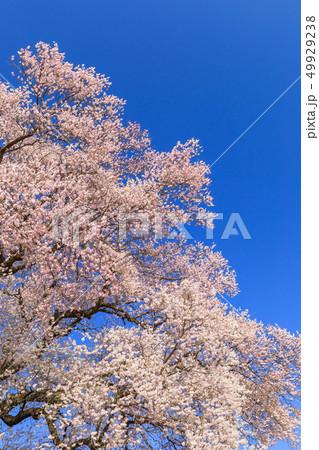 満開の桜イメージ 49929238