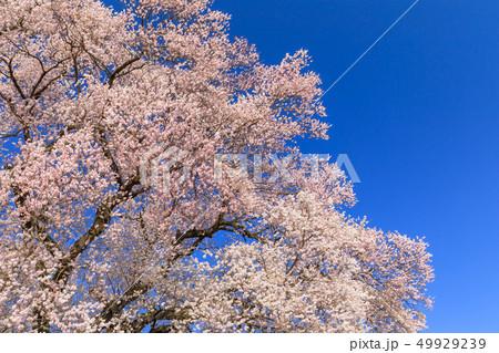 満開の桜イメージ 49929239