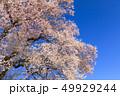 満開の桜イメージ 49929244