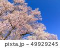 満開の桜イメージ 49929245