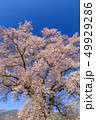 満開の桜イメージ 49929286