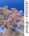 満開の桜イメージ 49929287