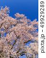 満開の桜イメージ 49929289
