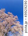 満開の桜イメージ 49929290