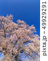 満開の桜イメージ 49929291