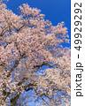 満開の桜イメージ 49929292