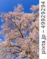 満開の桜イメージ 49929294