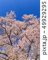 満開の桜イメージ 49929295