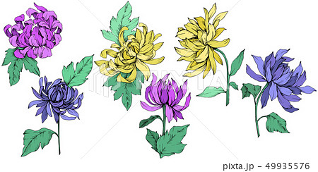 Vector Chrysanthemum floral botanical flowers. Engraved ink art. Isolated flower illustration 49935576