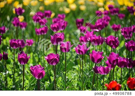 チューリップ 春の花 49936788
