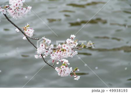 桜 49938193