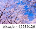 桜 ソメイヨシノ 満開の写真 49939129
