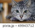 猫 動物 ネコの写真 49943712