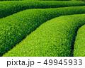 茶畑 新緑 茶葉の写真 49945933