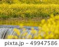 菜の花 満開 川の写真 49947586