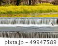 菜の花 満開 川の写真 49947589