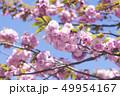 八重桜 49954167