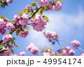 八重桜 49954174