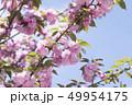 八重桜 49954175