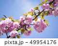 八重桜 49954176